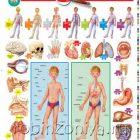 Плакат Строение тела